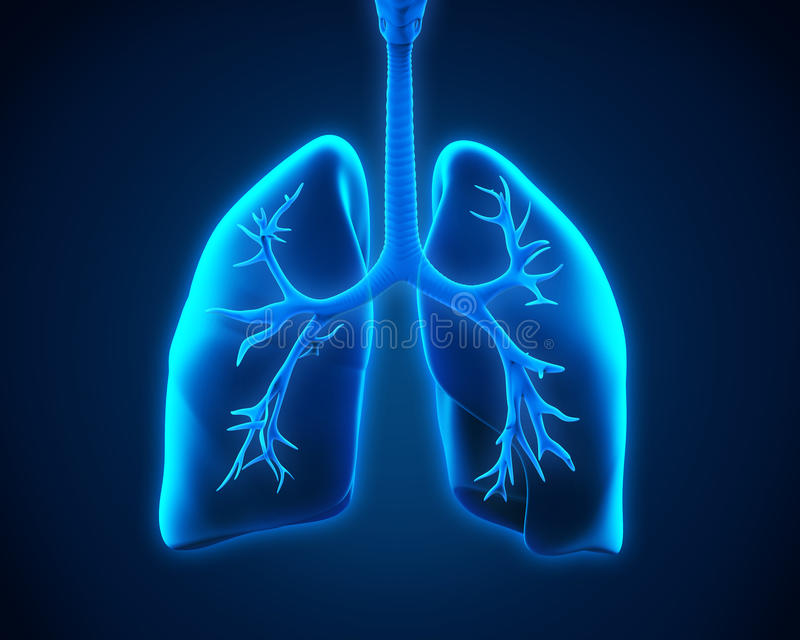 Lung and Bronchi. Illustration of Lung and Bronchi. 3D render stock illustration