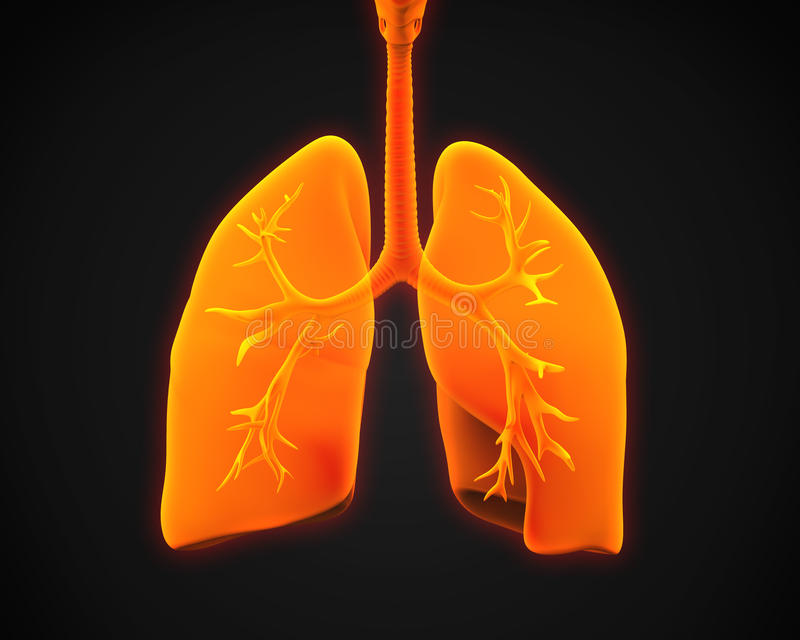 Lung and Bronchi. Illustration of Lung and Bronchi. 3D render vector illustration