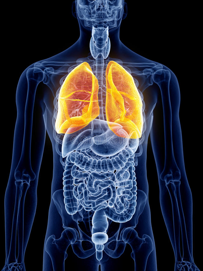 The lung. 3d rendered, medically accurate illustration of the lung stock illustration