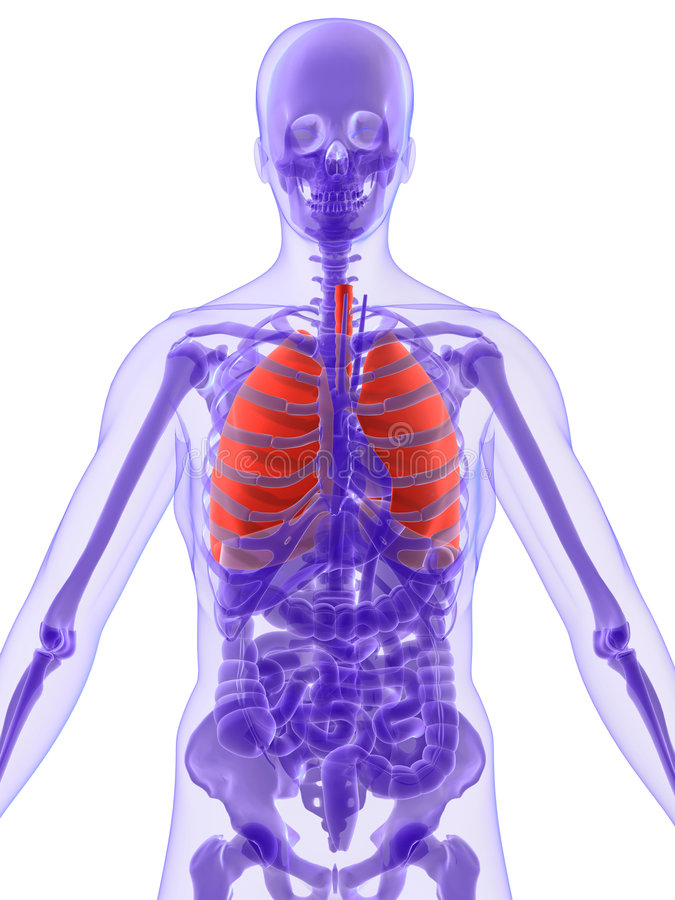 lung för anatomi 3d vektor illustrationer