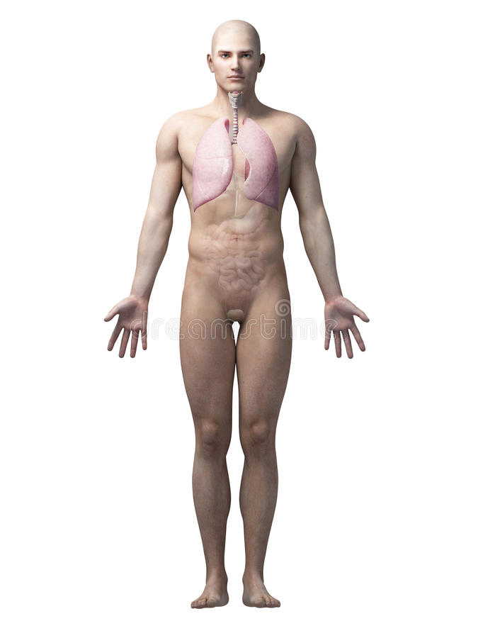The lung. Male anatomy illustration - the lung stock illustration