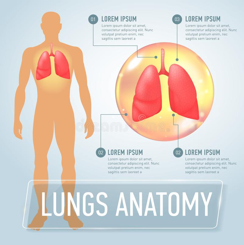 Lung. Modern medical infographics. Internal organs in a human body. Anatomy of people. Realistic vector illustration royalty free illustration