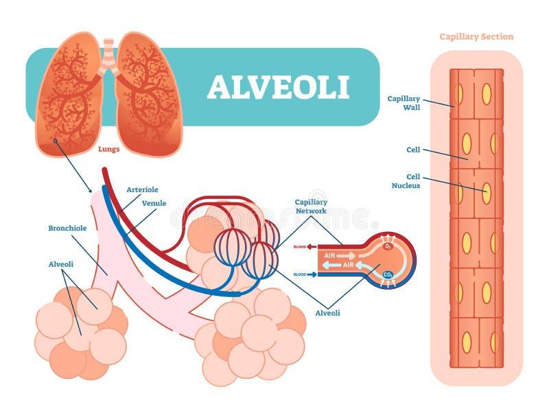 Lungaalveolschema, anatomiskt vektorillustrationdiagram med det hårfina nätverket vektor illustrationer
