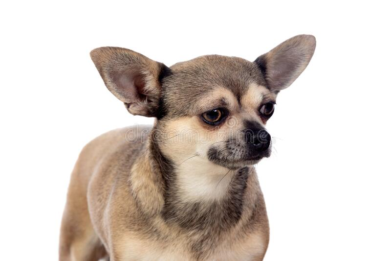 Lungbrun Chihuahua med stora öron royaltyfri foto