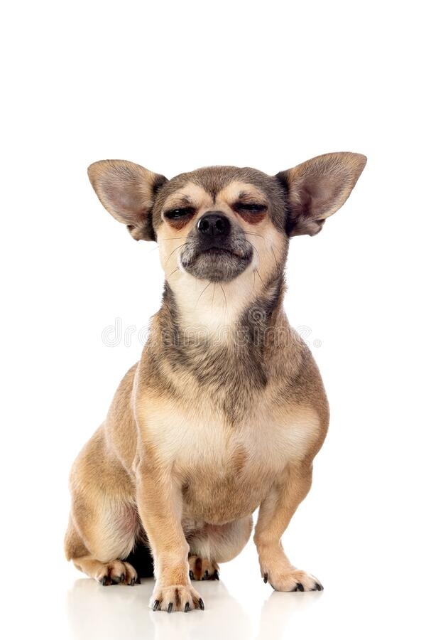 Lungbrun Chihuahua med stora öron royaltyfria foton