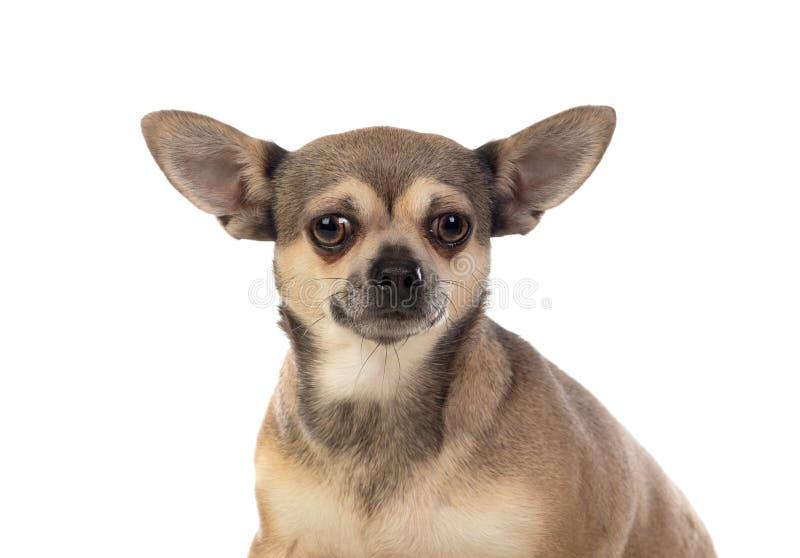 Lungbrun Chihuahua med stora öron arkivbilder