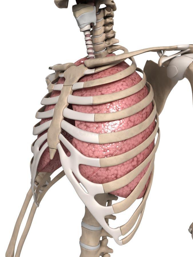 Lunge und Thorax stock abbildung. Illustration von rippen - 30724498