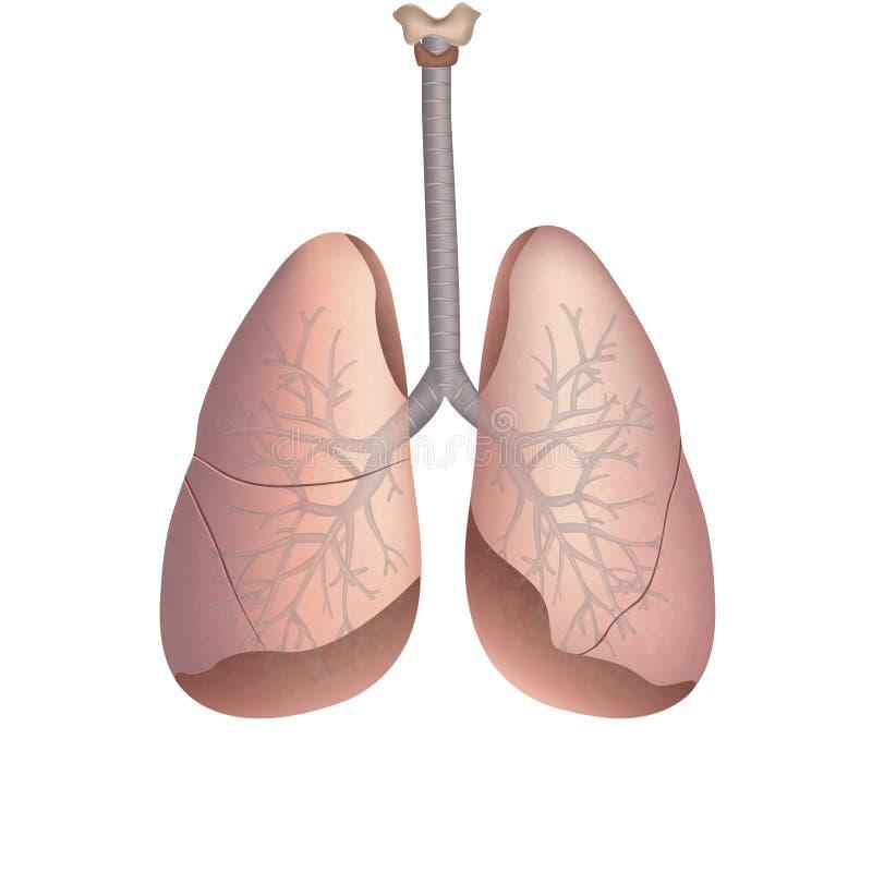 Lungen stock abbildung