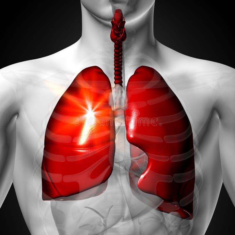 Lungen - Männliche Anatomie Von Menschlichen Organen ...