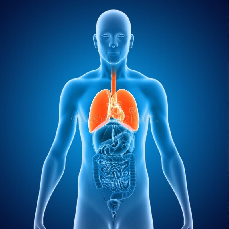 Lungen mit Herzen lizenzfreie abbildung