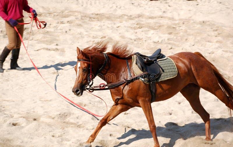 Lunging o cavalo imagens de stock royalty free