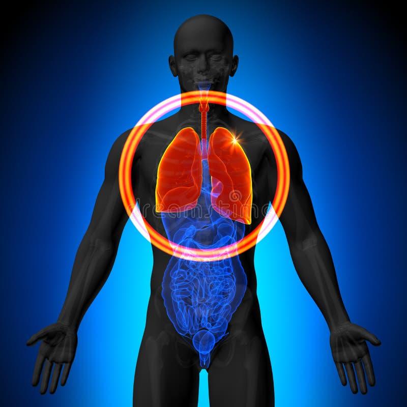 Lungor - manlig anatomi av mänskliga organ - röntgenstrålesikt stock illustrationer