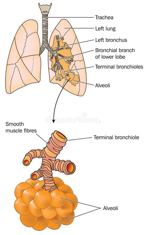 Lungor med detaljen av alveoler stock illustrationer