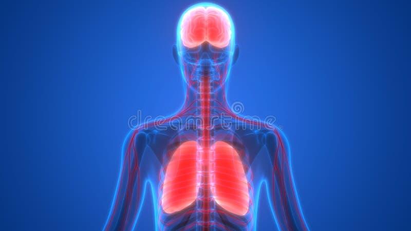 Lungor och hjärna för mänskliga organ med nervsystemanatomi vektor illustrationer