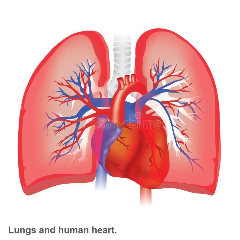 Lungor och mänsklig hjärtaillustrationanatomi stock illustrationer
