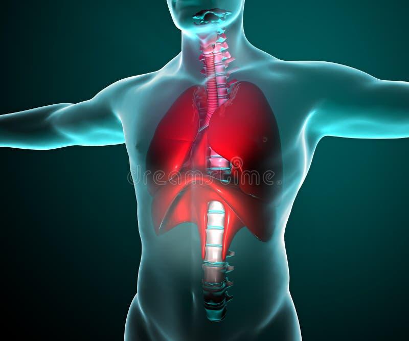 Lungor som ses på röntgenstrålar i en kropp stock illustrationer