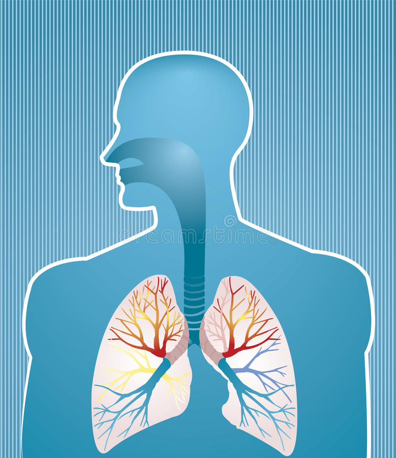 Download Lungs stock vector. Image of lung, bronchi, organ, anatomy - 12075640