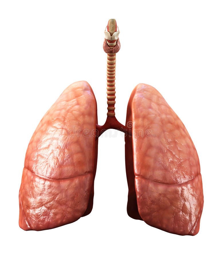 Lungs royalty free illustration