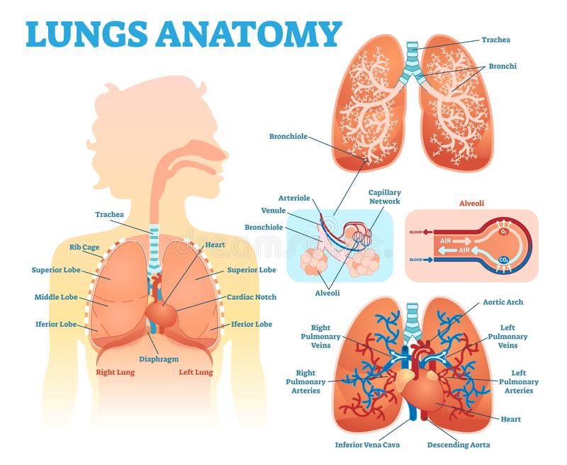 Lungs anatomy medical vector illustration diagram set with lung lobes, bronchi and alveoli. Educational information poster. royalty free stock photos