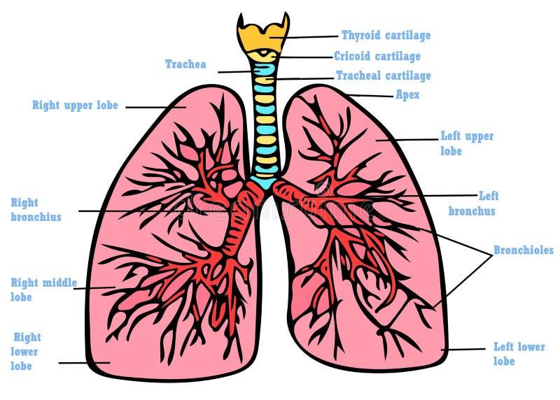 Lungs anatomy scheme stock illustration. Illustration of scheme ...