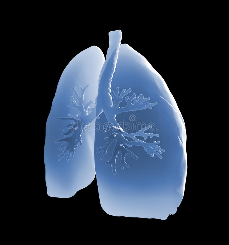 Lungs and bronchi. Medical illustration stock illustration