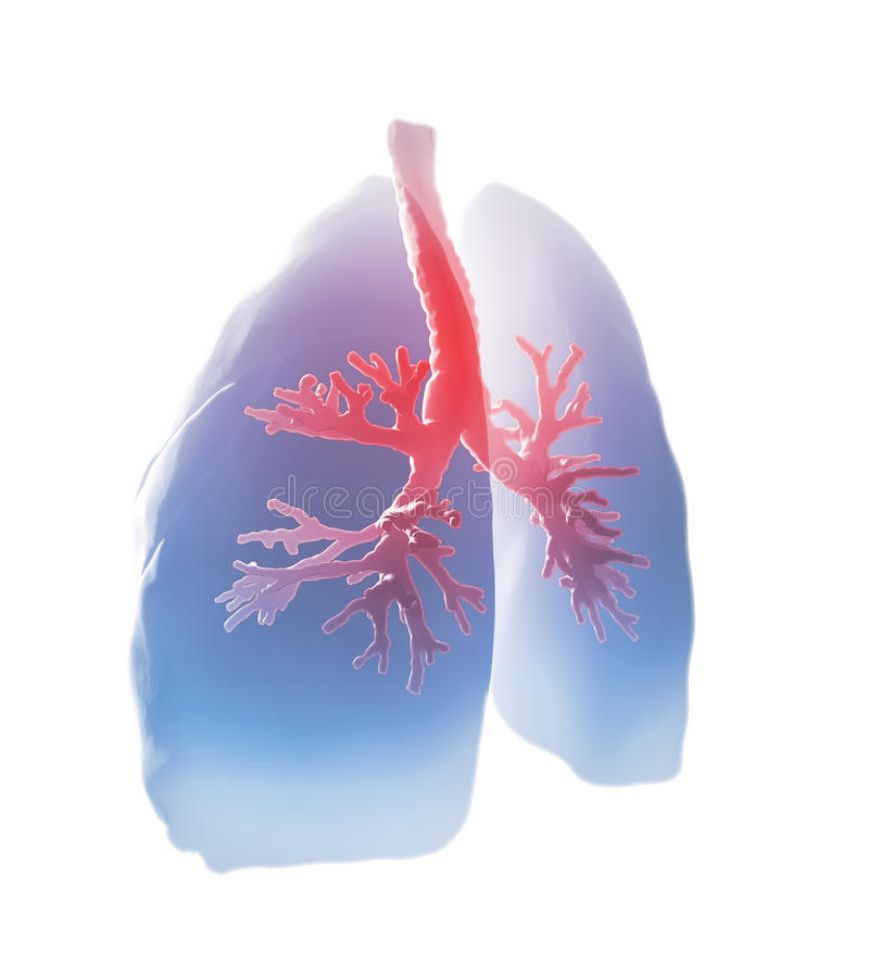 Lungs and bronchi. Medical illustration vector illustration