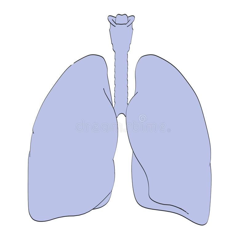 Lungs stock illustration