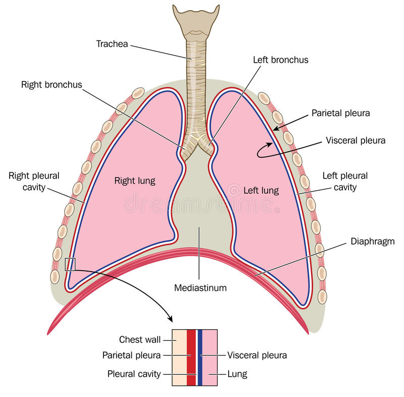 Lungs with detail of plurae stock vector illustration of pleurae download lungs with detail of plurae stock vector illustration of pleurae lungs 54143860 ccuart Choice Image