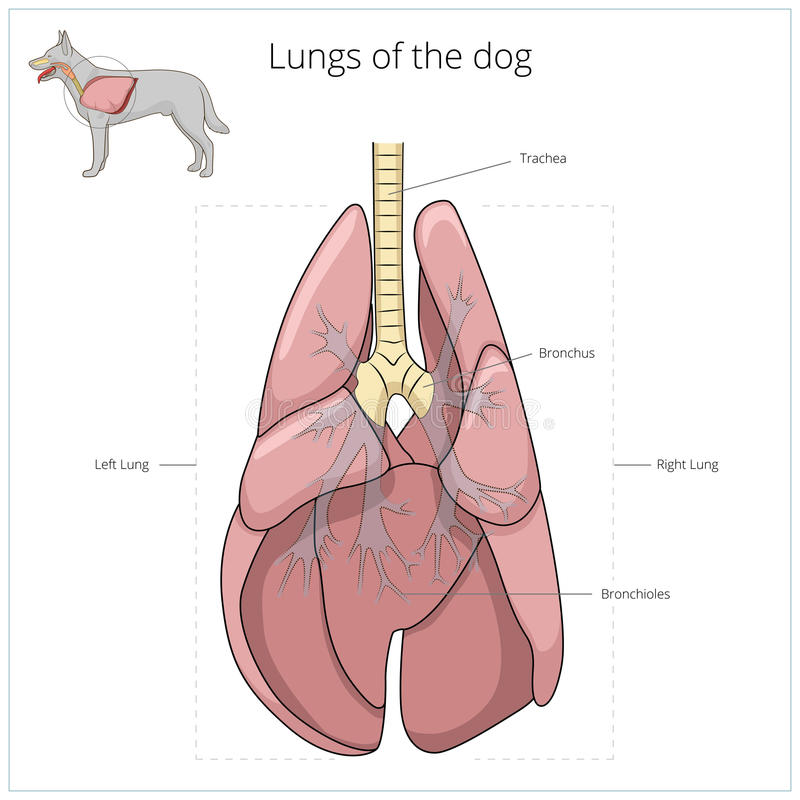 Lungs Of The Dog Vector Illustration Stock Vector - Illustration of ...