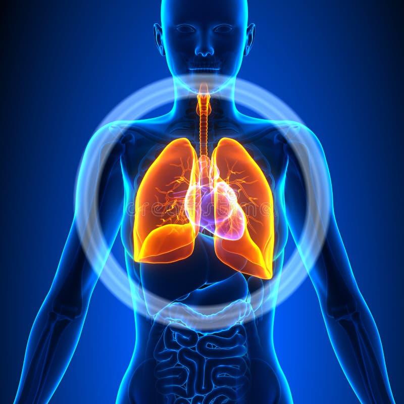 Lungs - Female Organs - Human Anatomy Stock Illustration ...