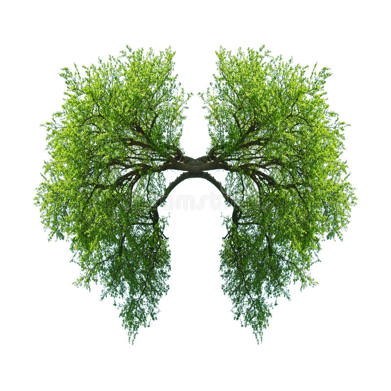 Lungs royalty free stock image