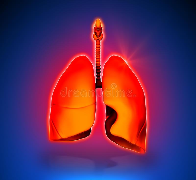 Lungs - Internal organs vector illustration