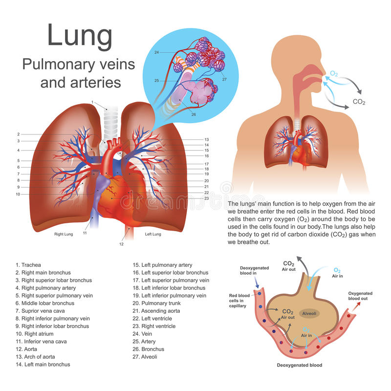 The lungs. The lungs are the primary organs of respiration in humans and many other animals including a few fish and some snails. In mammals and most other stock illustration