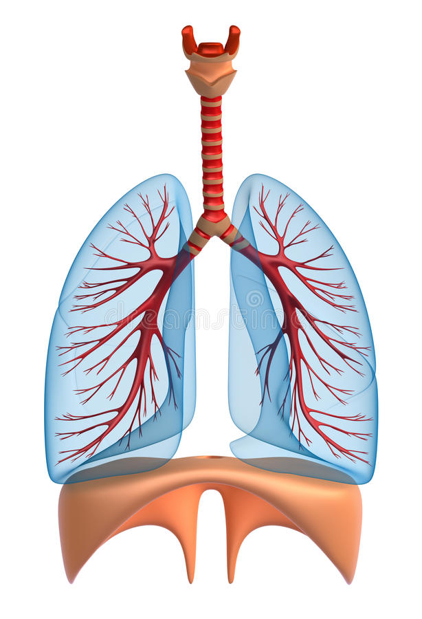 Download Lungs - pulmonary system stock illustration. Image of education - 18753213