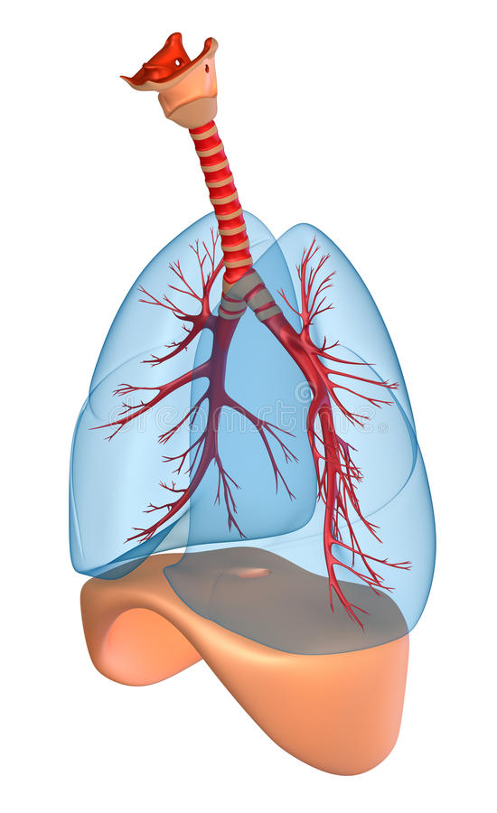 Download Lungs - pulmonary system stock illustration. Illustration of science - 20989331