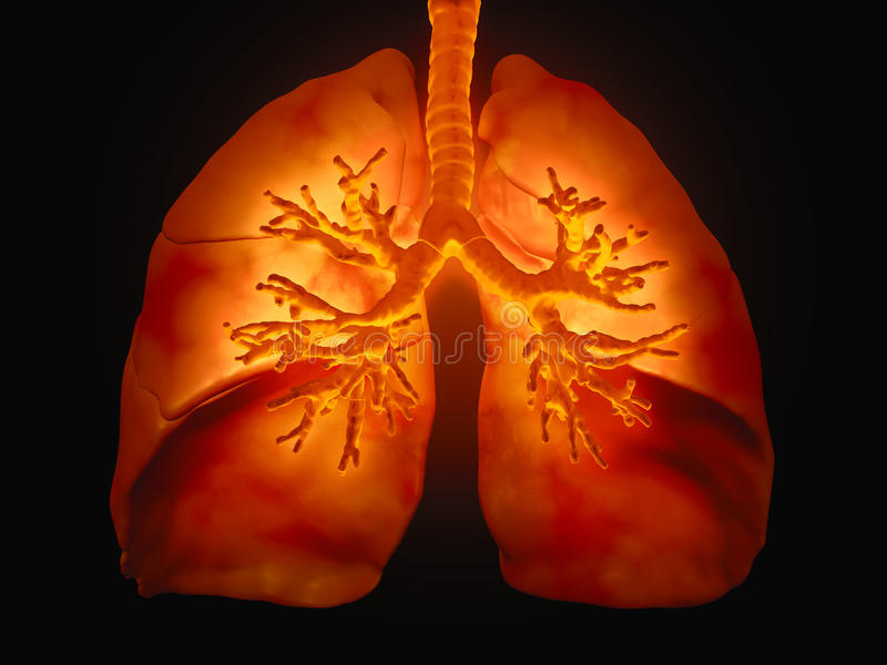 Lungs with visible bronchi. 3D medical illustration - lungs with visible bronchi stock illustration
