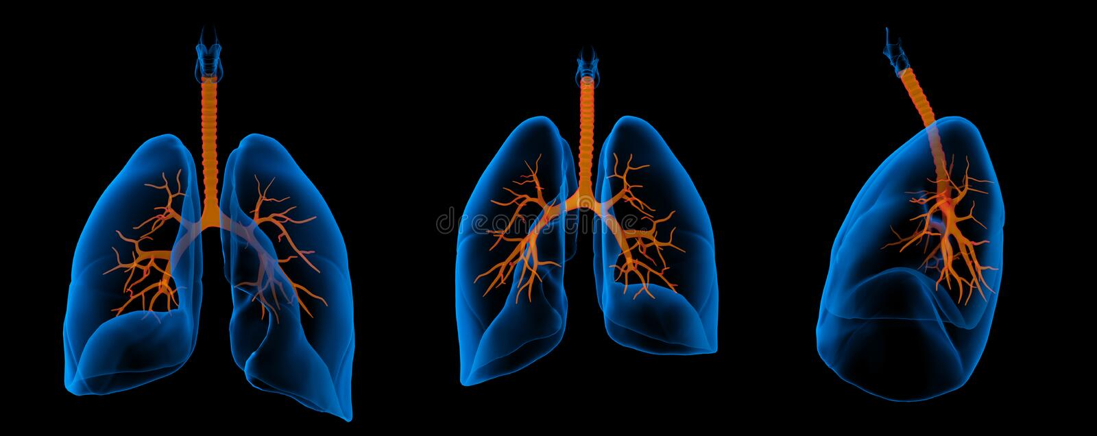 Lungs with visible bronchi. 3D medical illustration - lungs with visible bronchi royalty free illustration