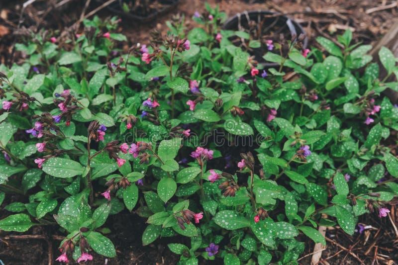 Lungwort或肺生长在庭院里在早期的春天 医药草本有用为同种疗法 图库摄影