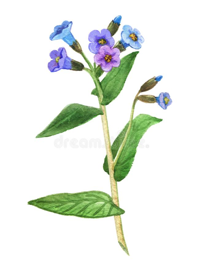 Lungwort药用植物 皇族释放例证