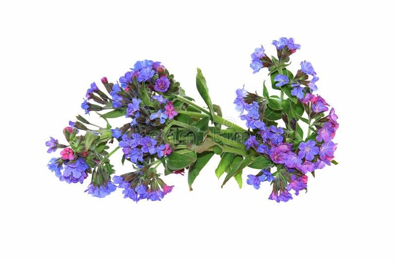 Lungwort novo da flor do ramo, close-up verde fresco da folha cedo dentro imagem de stock royalty free