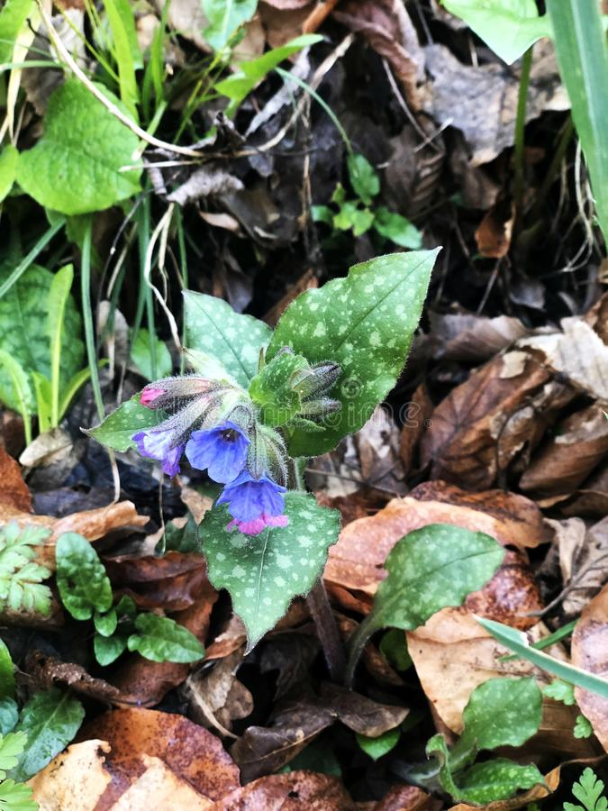 lungwort up-close royalty free stock images