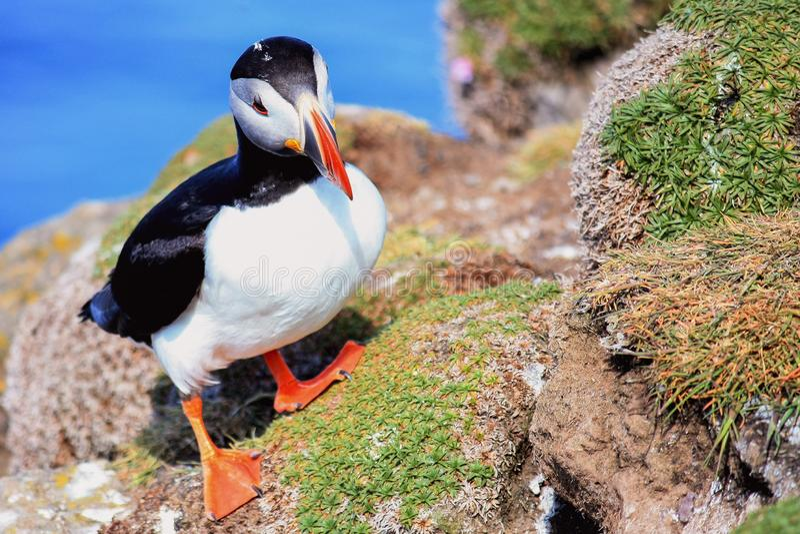 Lunnefågel fraterculaarctica i Island - foto - bild royaltyfri foto