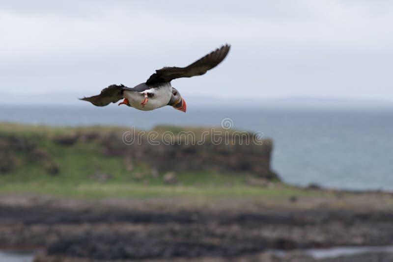 Lunnefågel i flykten fotografering för bildbyråer