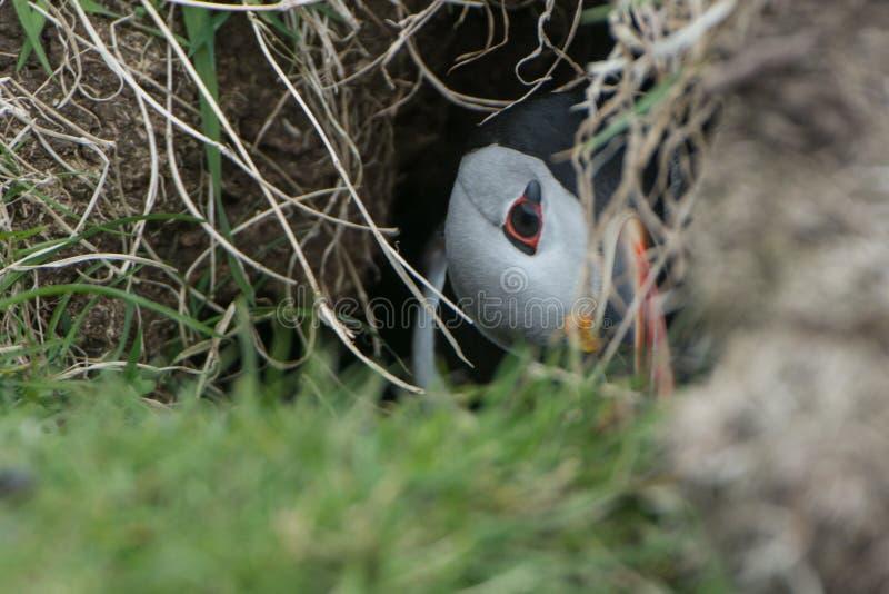 Lunnefågel i håla royaltyfri fotografi