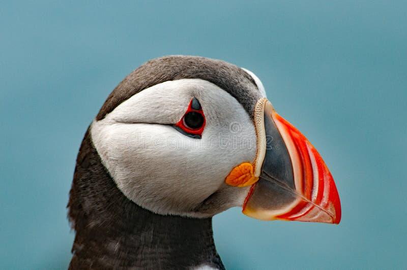 Lunnefågel i närbild arkivfoto