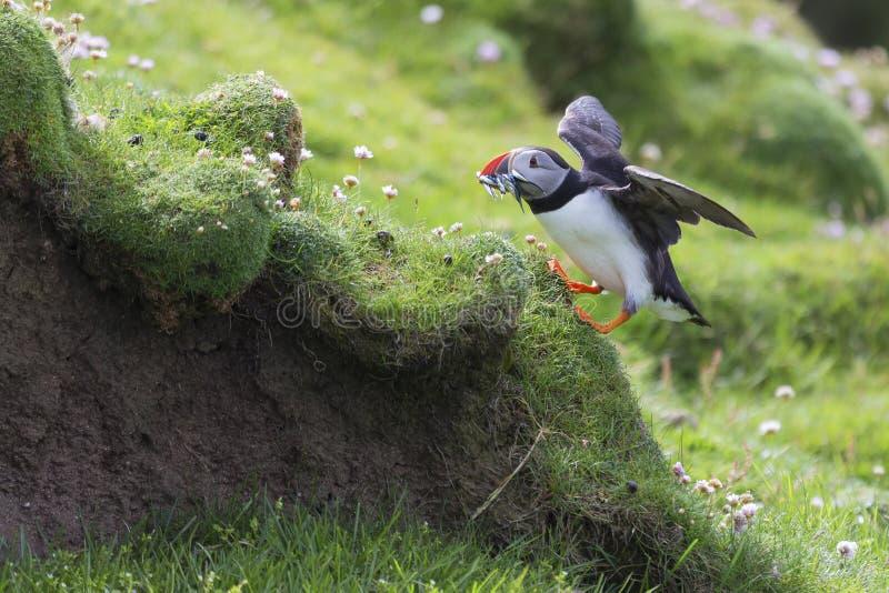 Lunnefågel som kommer med fisken till ett rede på den Shetland ön för dess fågelungar arkivfoto