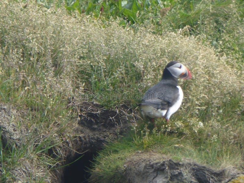 Lunnefågel Tjörneshreppur Island arkivfoto
