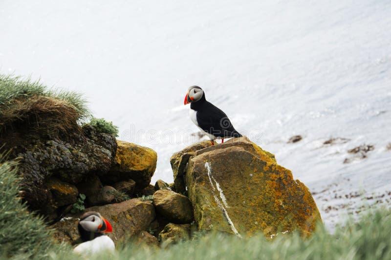 Lunnefågellarm fotografering för bildbyråer