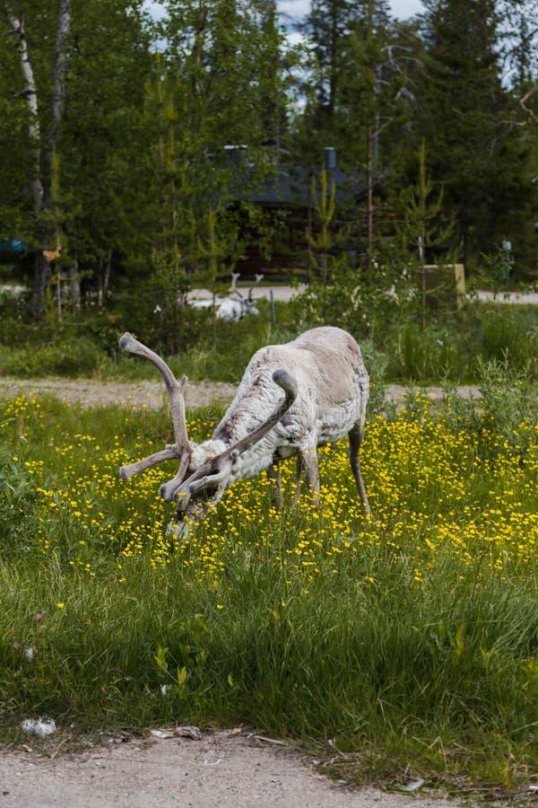 Luosto Lapland, reniferowi łasowanie kwiaty obraz stock