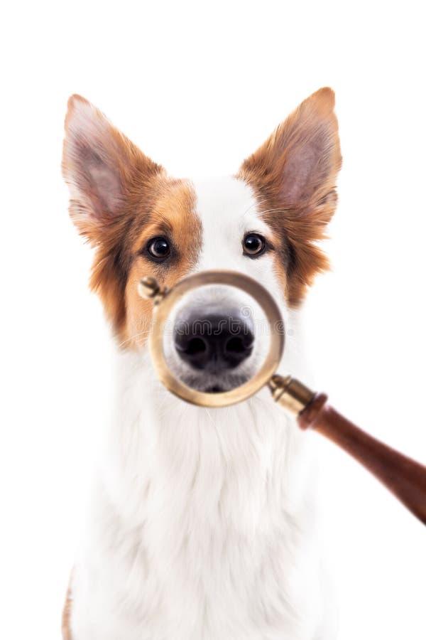 Lupa delante de un perro, nariz que magnifica, perro de la búsqueda del concepto, beagle y perro del seguimiento imagen de archivo